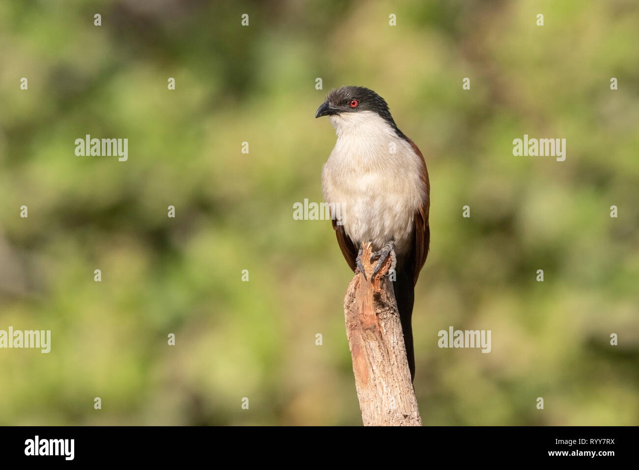 Senegal Coucal, Makasutu Forest, Gambia 3 March 2019 - Stock Image