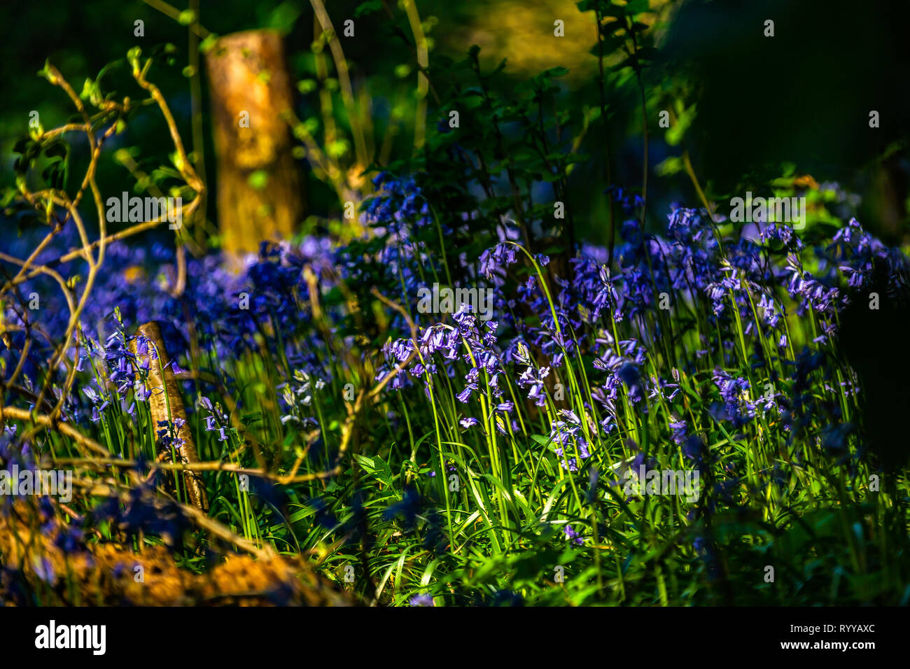 A carpet of bluebells in a wood or forest in the UK - Stock Image