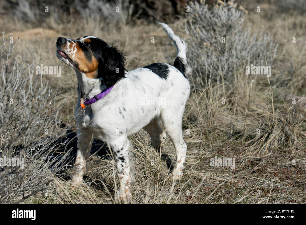 Four-and-a half month old English setter puppy watching dog trainer - Stock Image