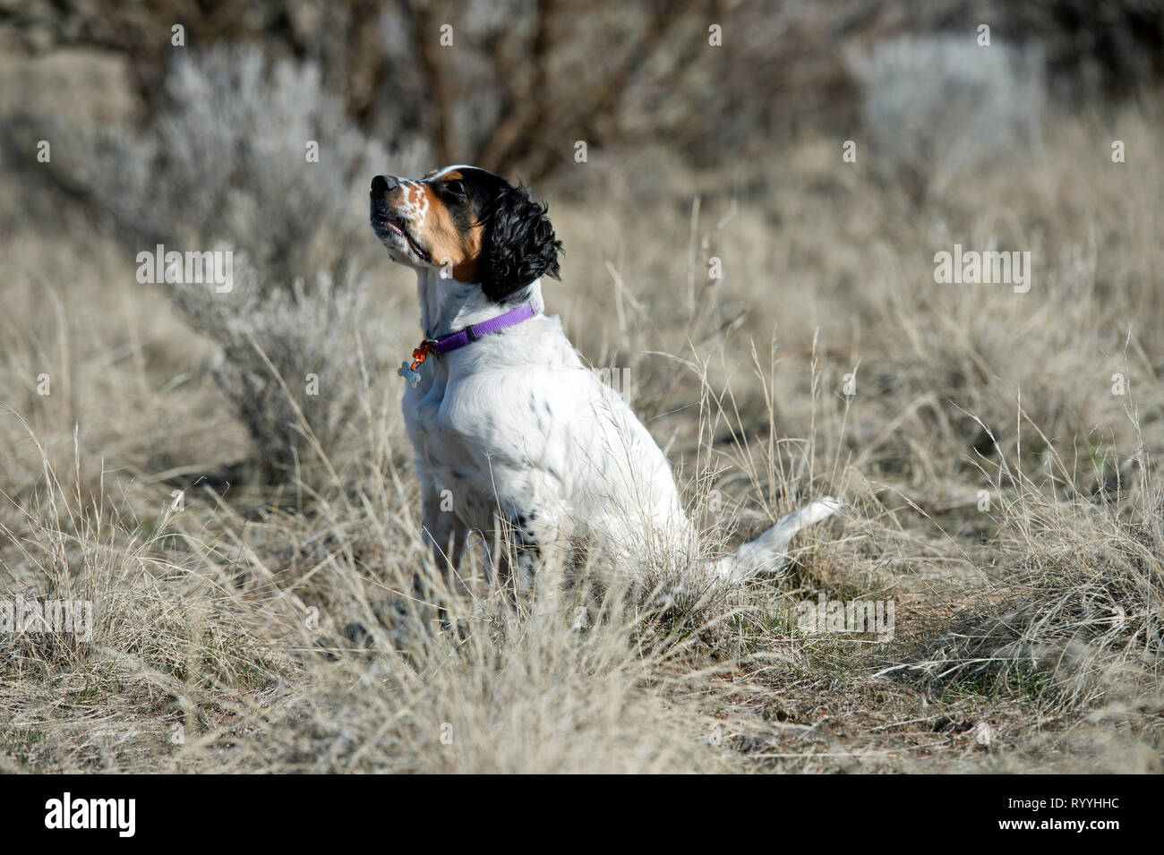 Four-and-a half month old English setter puppy sitting and  looking up at dog trainer - Stock Image