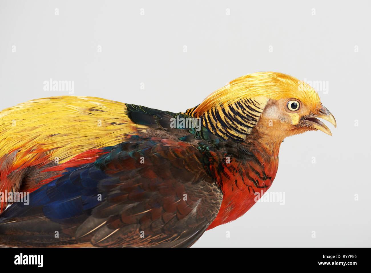 Colorful pheasant bird isolated on white studio background - Stock Image