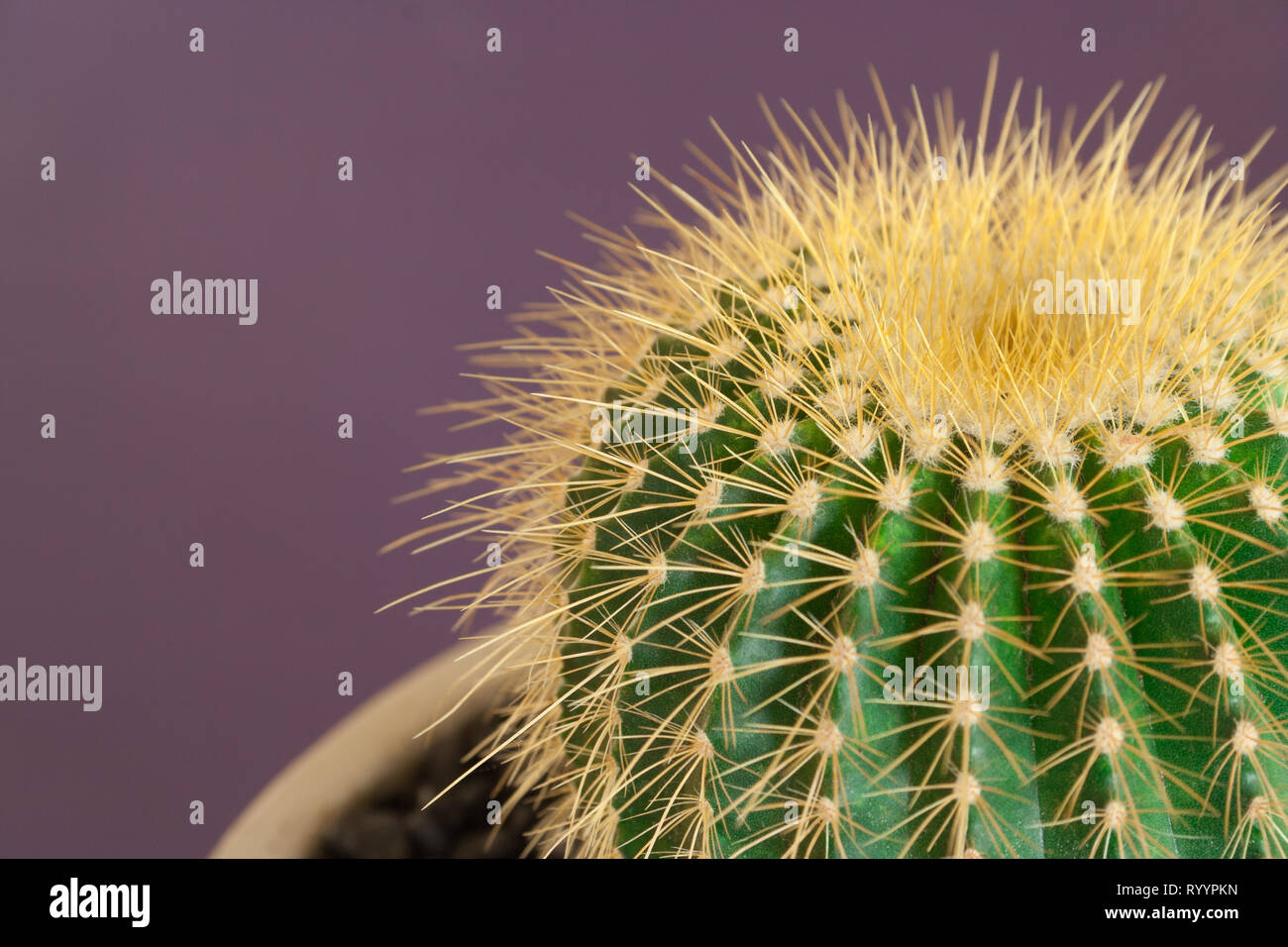 cactus used as home decor against violet background - Stock Image