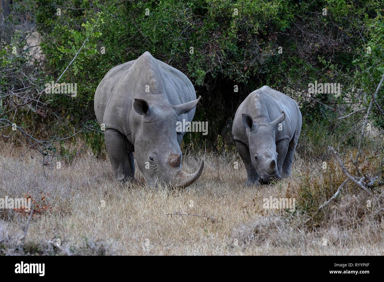 Endangered White Rhinoceros, Kenya, Africa - Stock Image