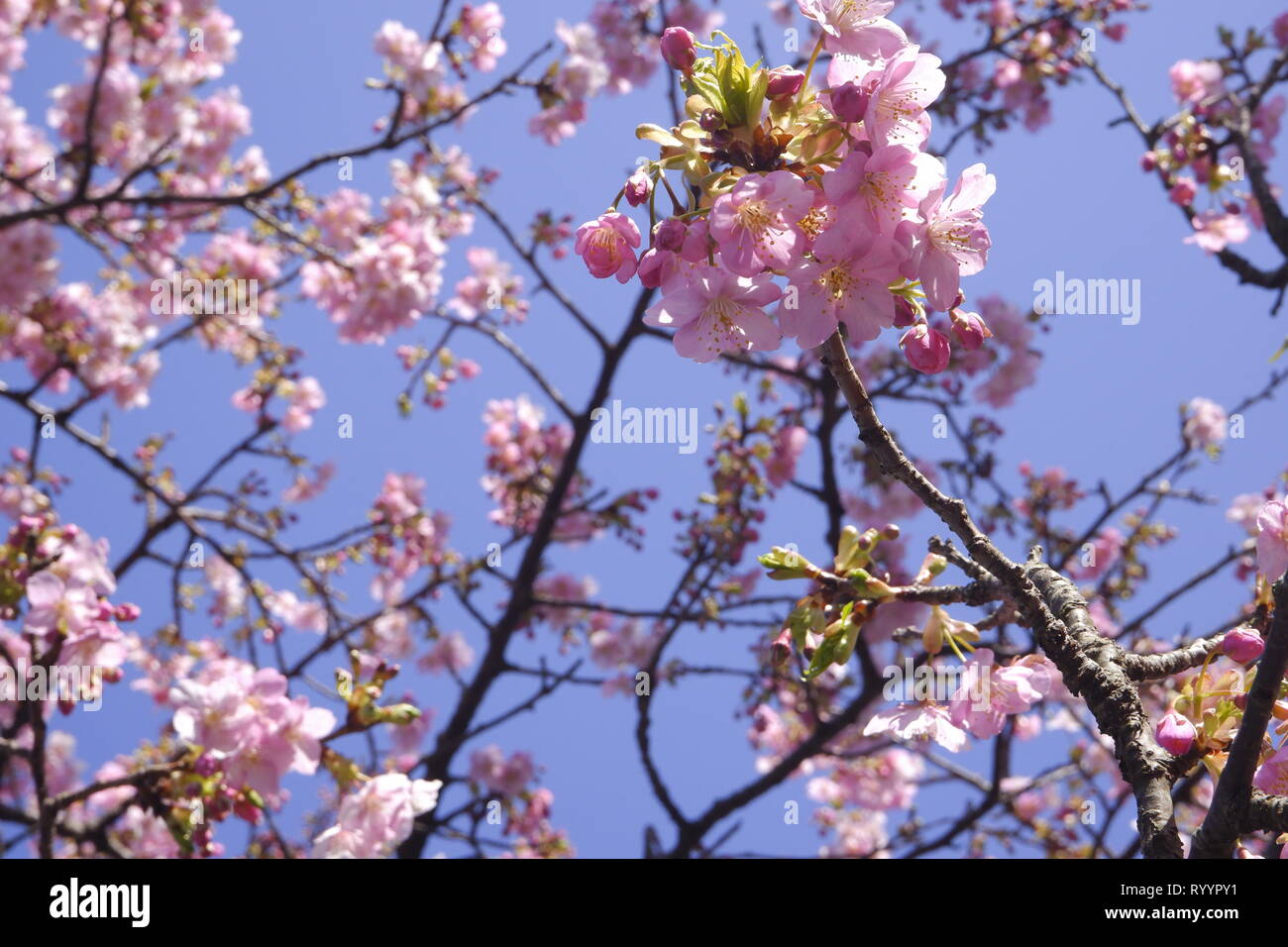 Close Up Japan Cherry Blossom Pink Flower Sakura Branch Nature Background Stock Photo Alamy