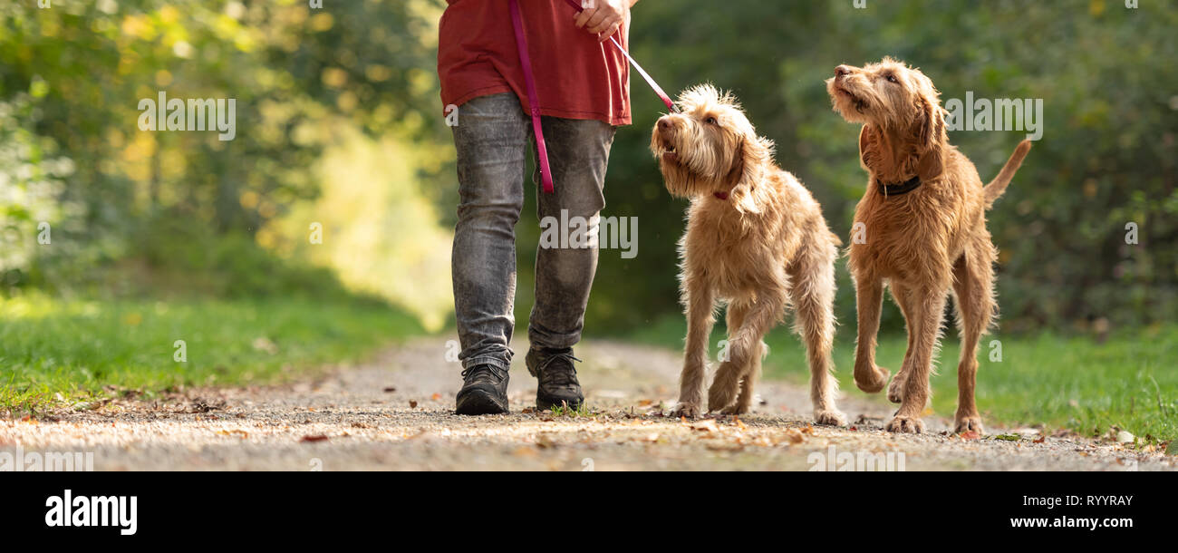 Woman is walking with several dogs in the forest. Two Magyar Vizsla - Stock Image