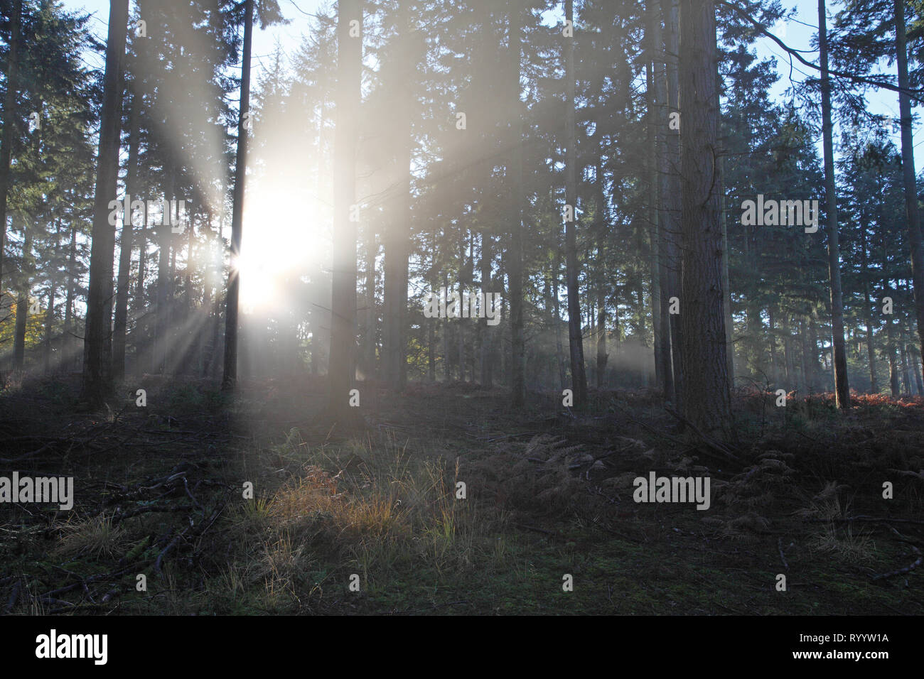 Mist and sunrise in Sloden Inclosure New Forest National Park Hampshire England - Stock Image