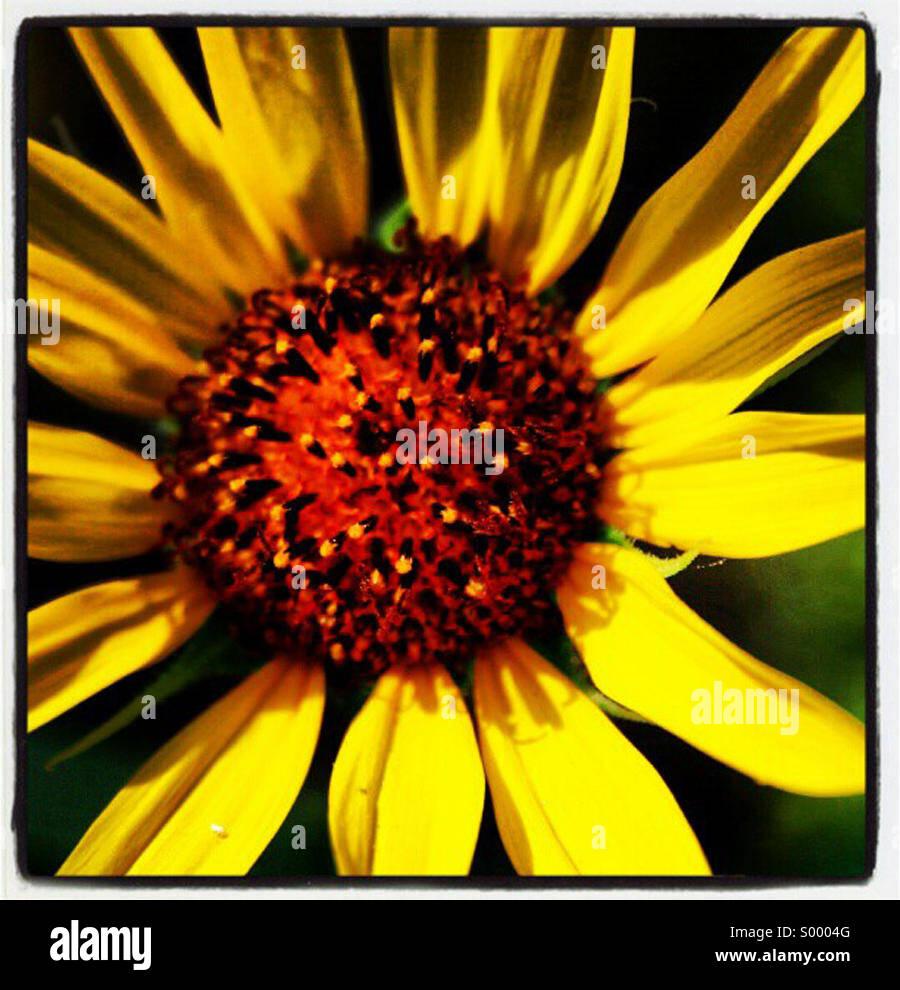 Sunlit sunflower - Stock Image