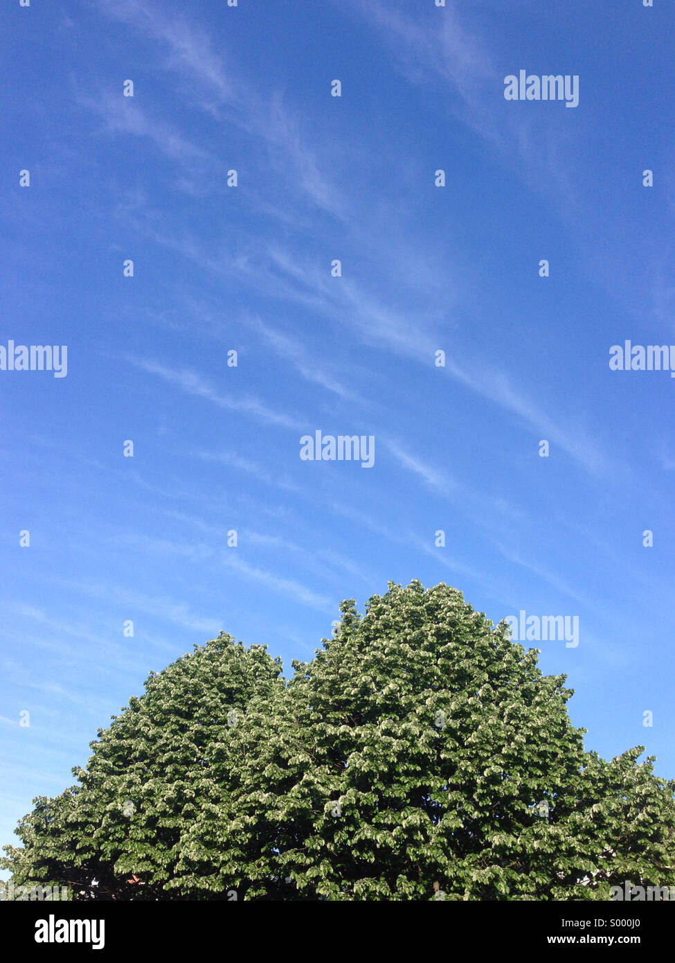 Two trees with blue skies above. - Stock Image