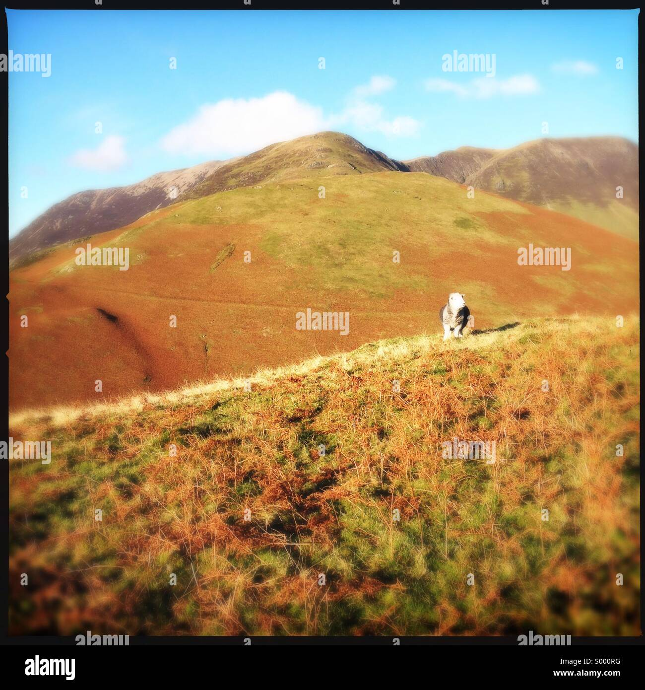 Sheep on hilltop in Buttermere, Cumbria - Stock Image