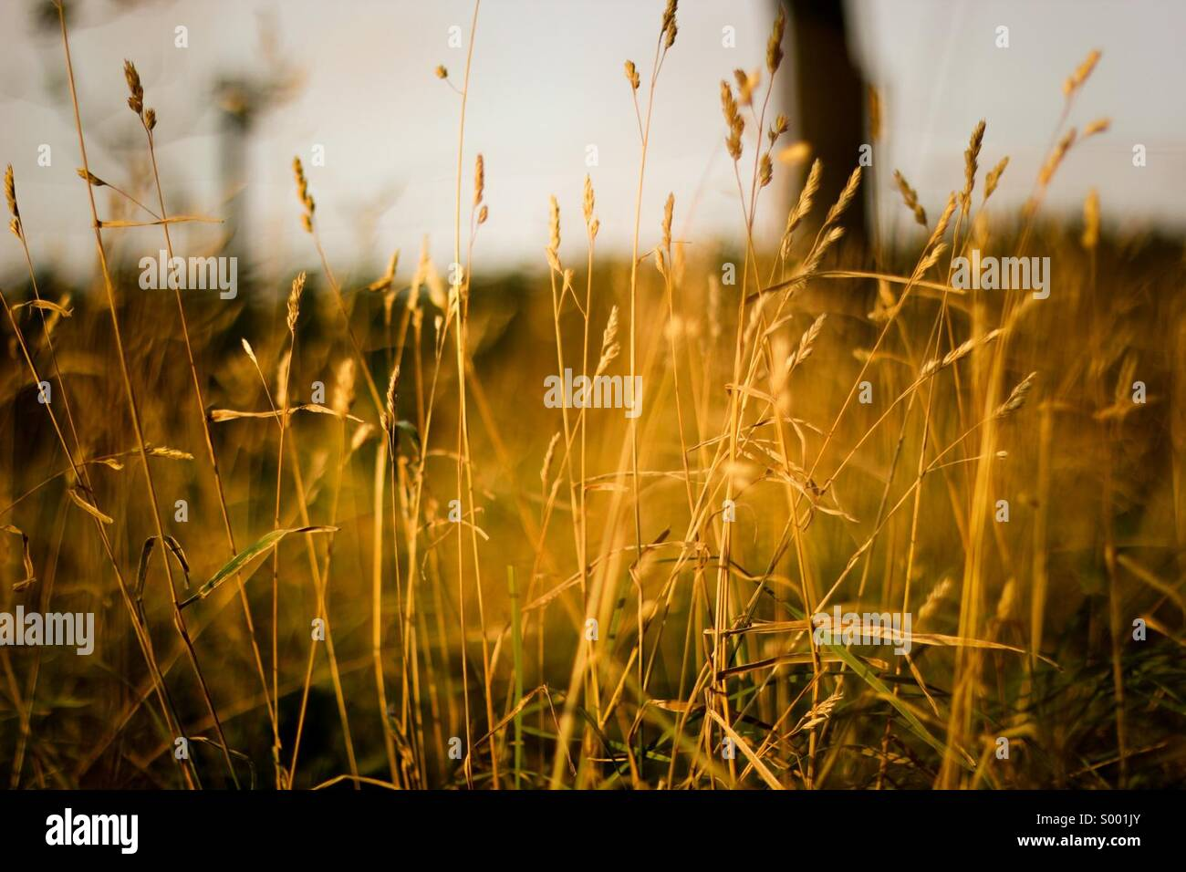Sunset and the grass Stock Photo