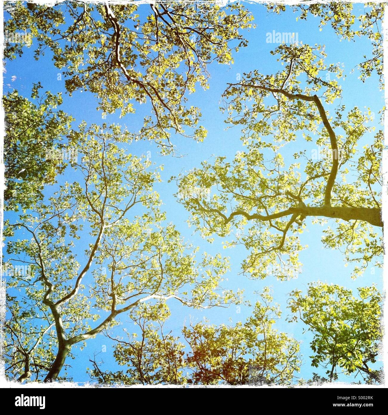 Looking up thru fall trees - Stock Image