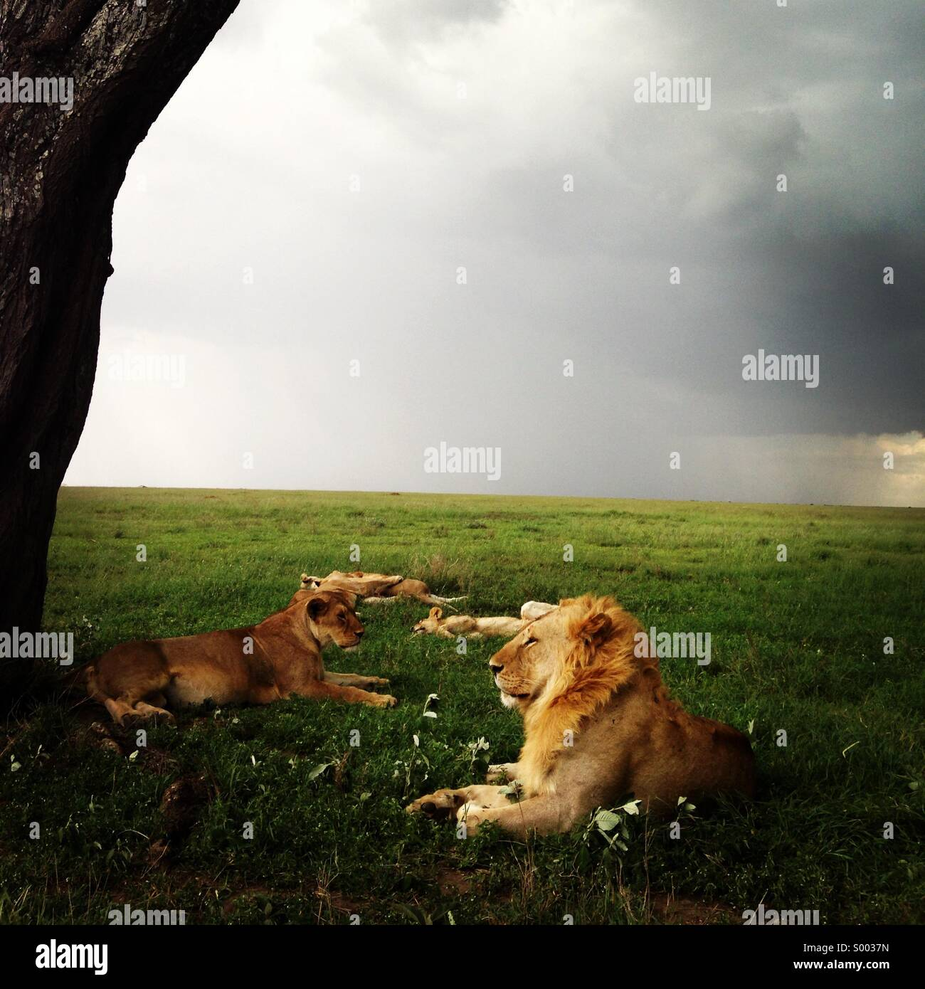 Family of lions lying down in the grass in Serengeti national park, Tanzania , with the rain about to start. - Stock Image