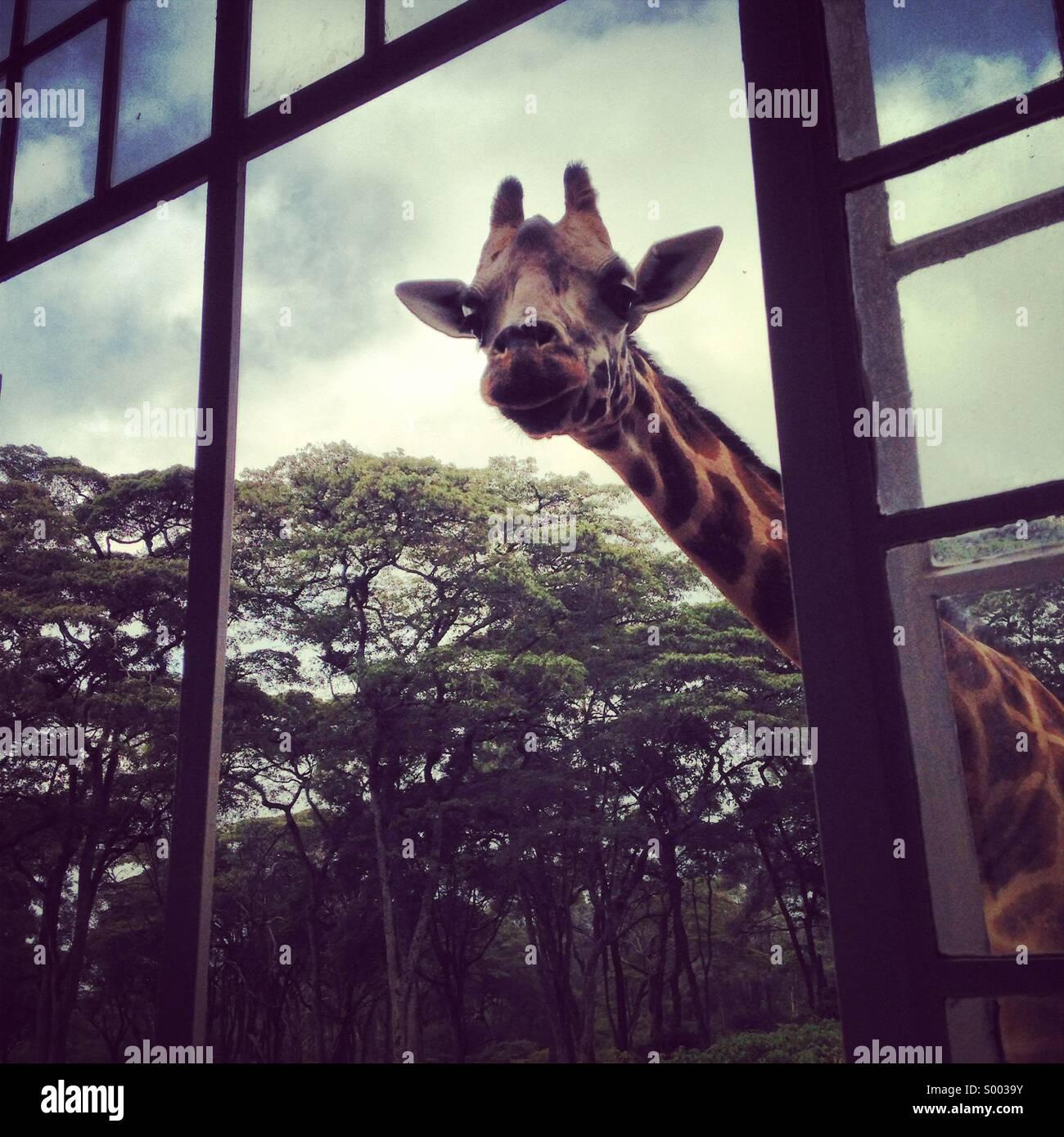 Giraffe looking through the window - Stock Image