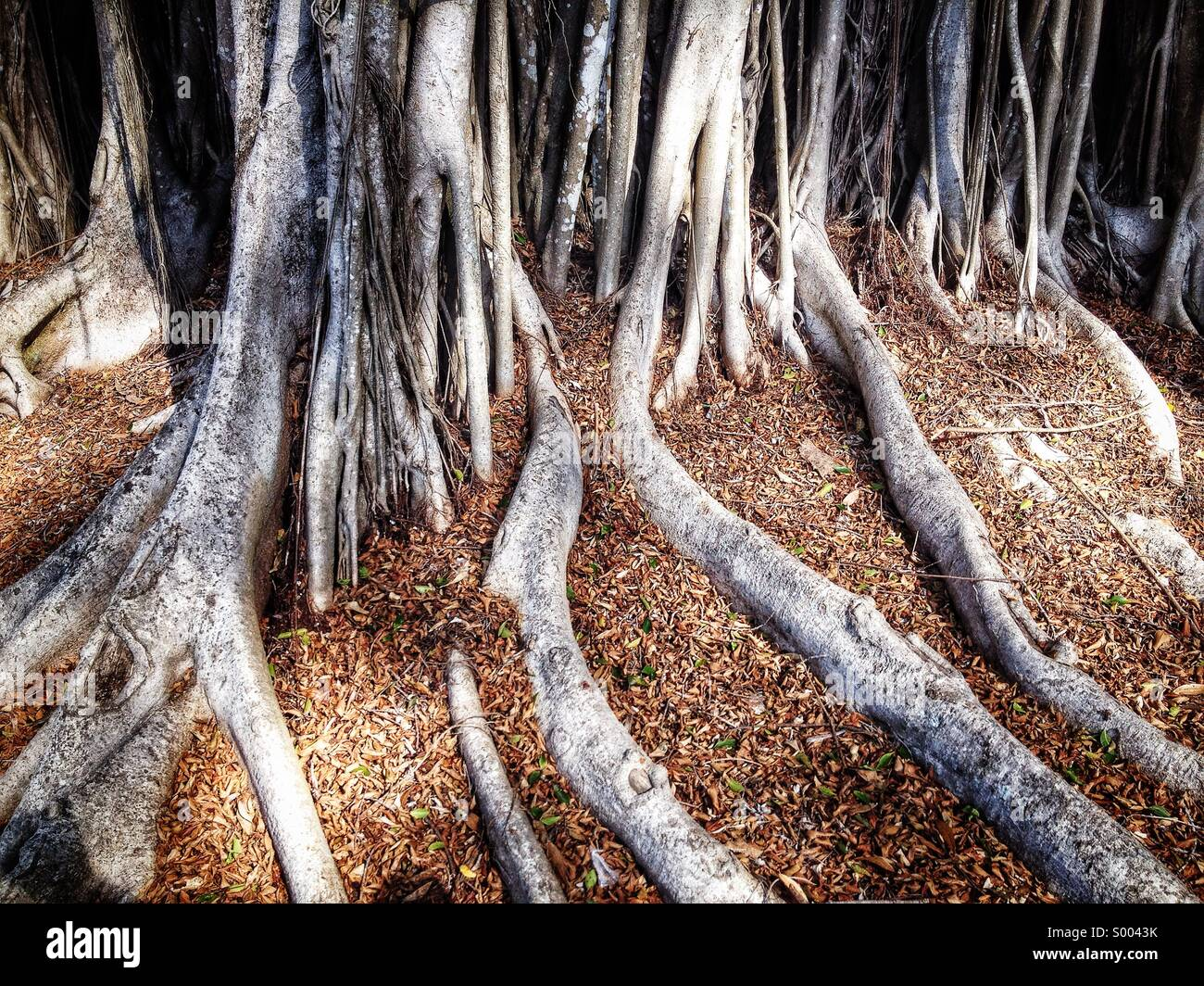 Tree roots , Florida - Stock Image