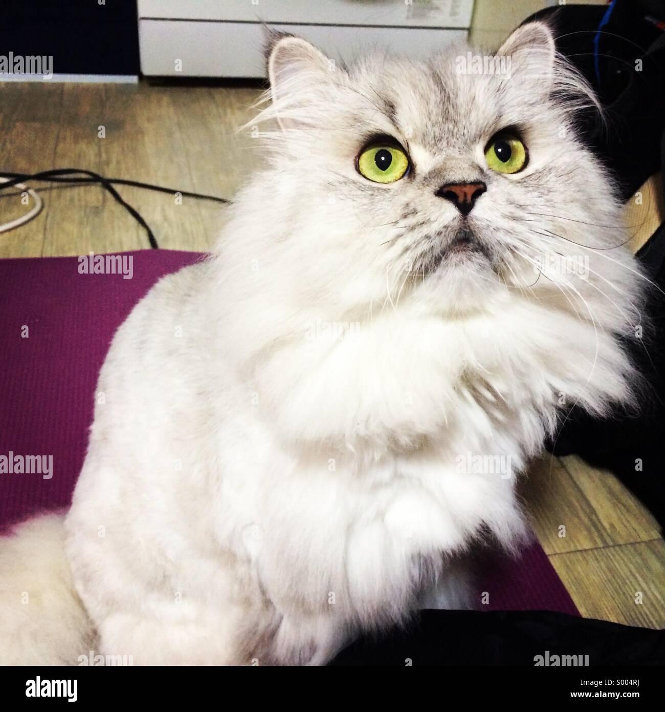 Vimba the cat - Stock Image
