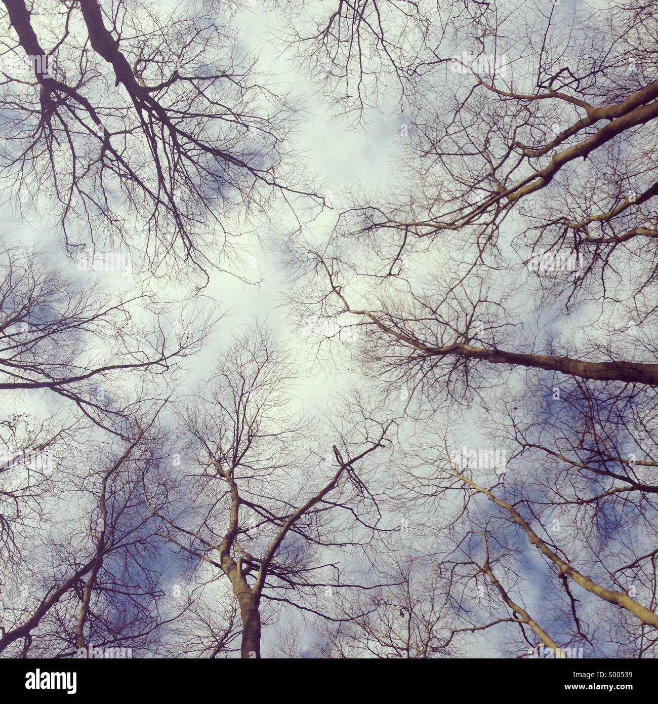 Looking up at tree tops. - Stock Image