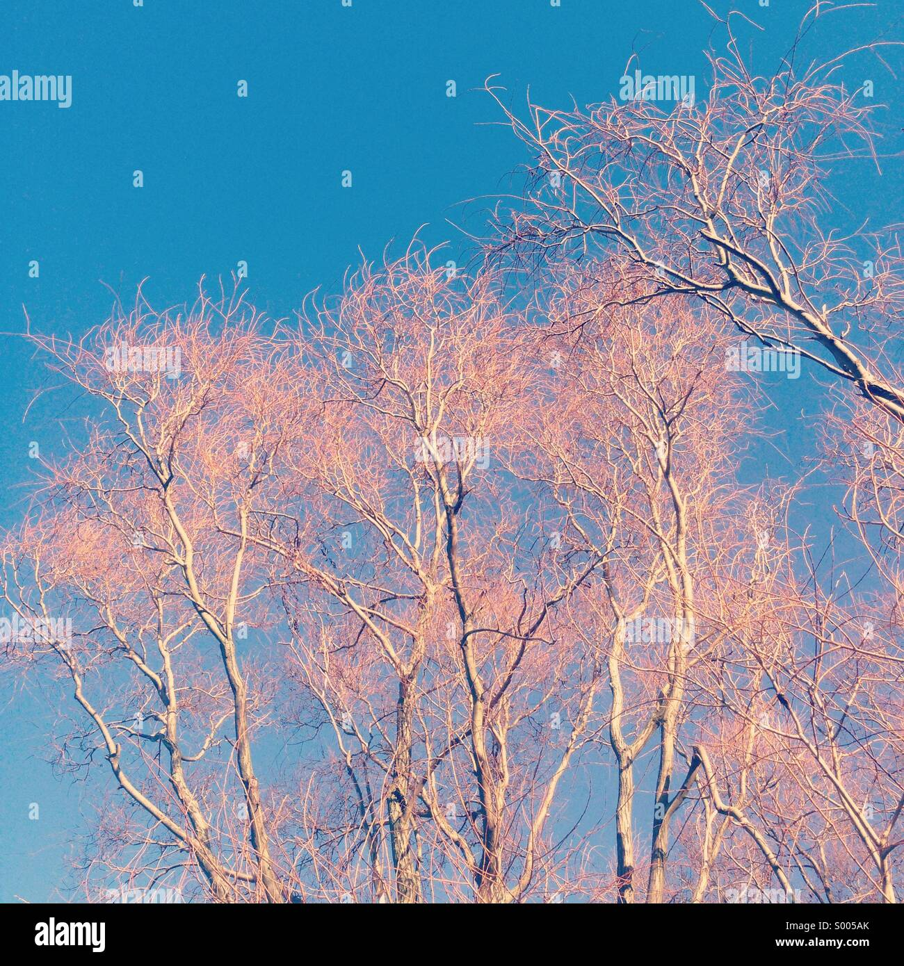 Pink trees - Stock Image