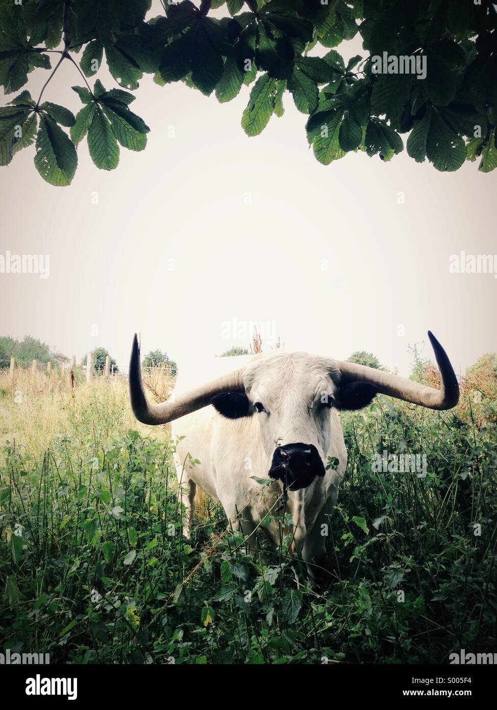 Bull with horns in an overgrown field - Stock Image