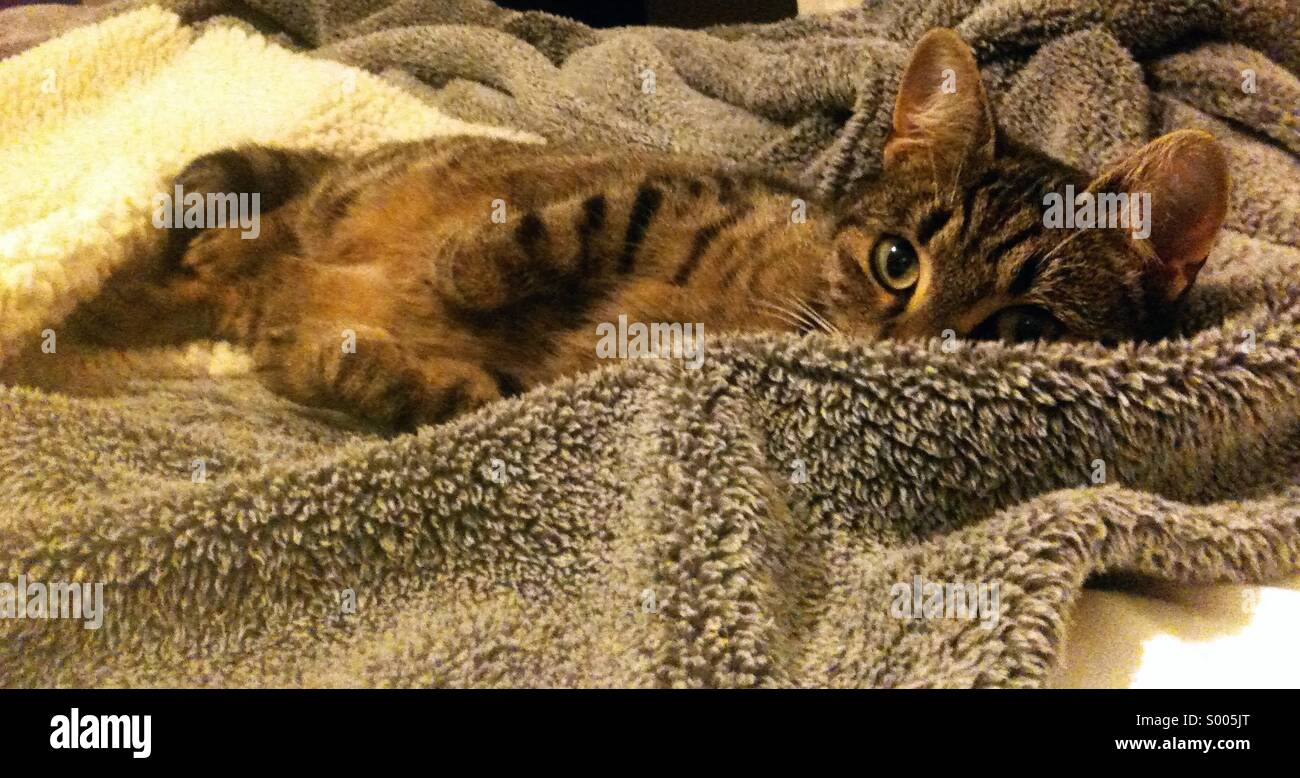 Tabby cat on a furry blanket - Stock Image