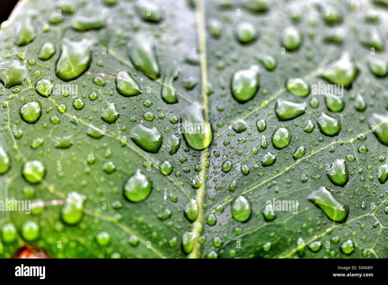 Raindrops on leaf - Stock Image