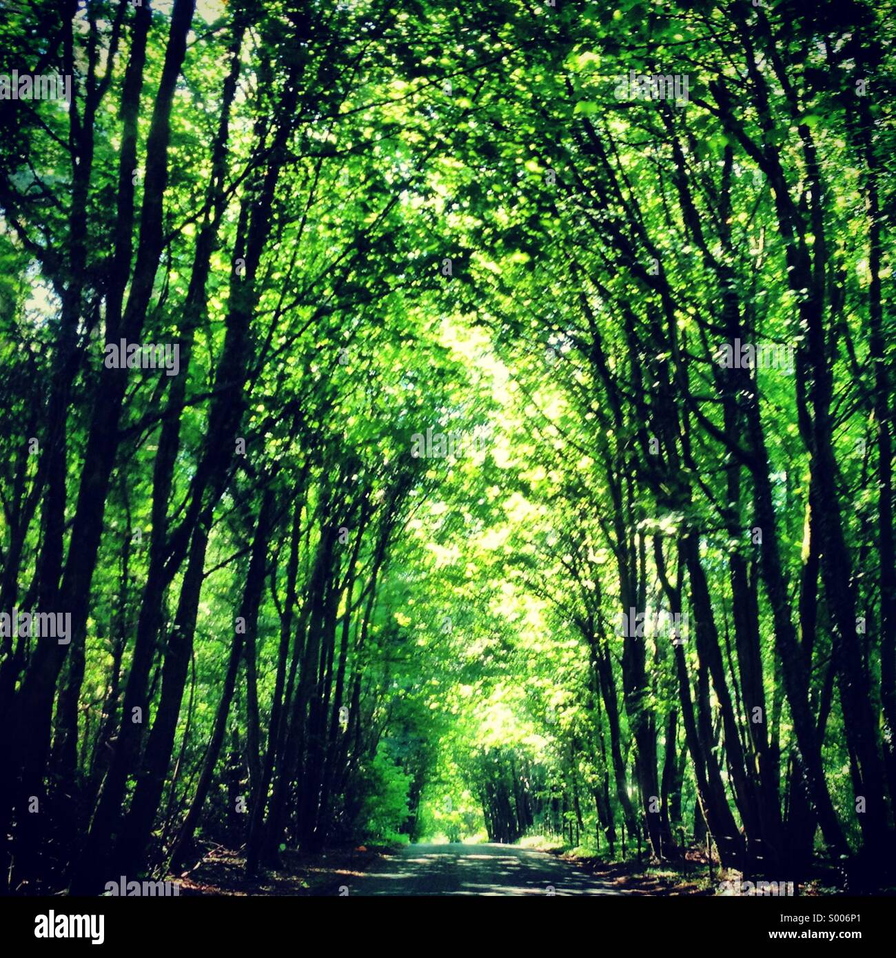 Avenue of trees on Zigzag road. East Melbury, Dorset, England. Late Summer 2013. - Stock Image