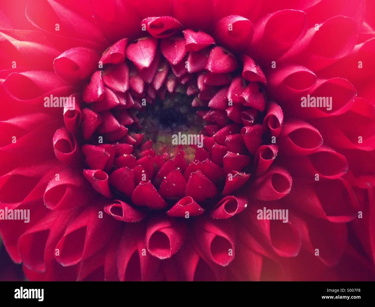 Magenta dahlia - Stock Image