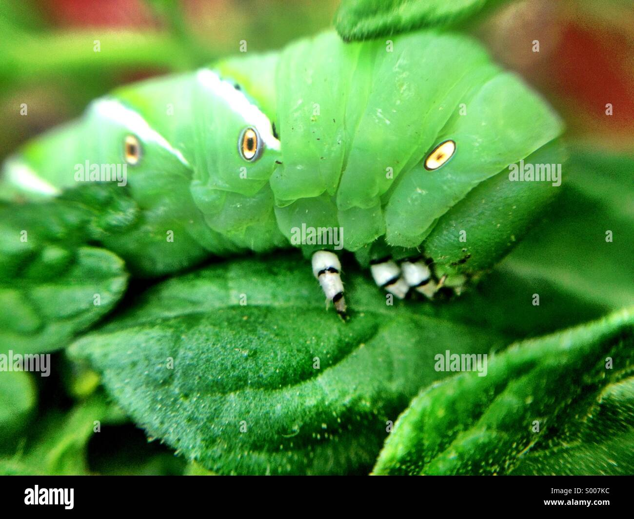 Closeup of tomato hornworm - Stock Image