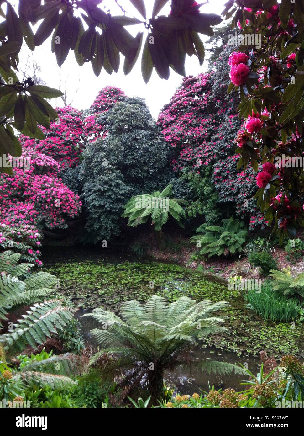 Rhododendrons and Dickensonia Antartica tree ferns at Heligan Gardens Cornwall - Stock Image