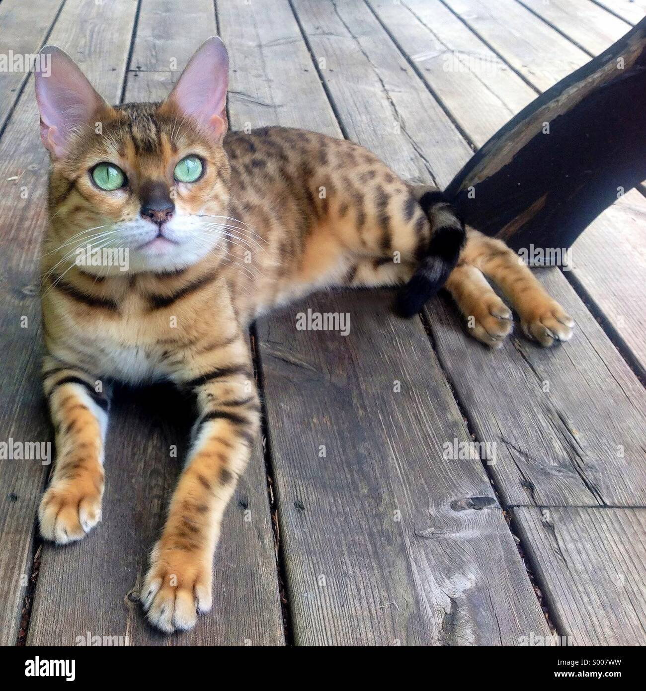 Bengal cat relaxing on the patio. - Stock Image