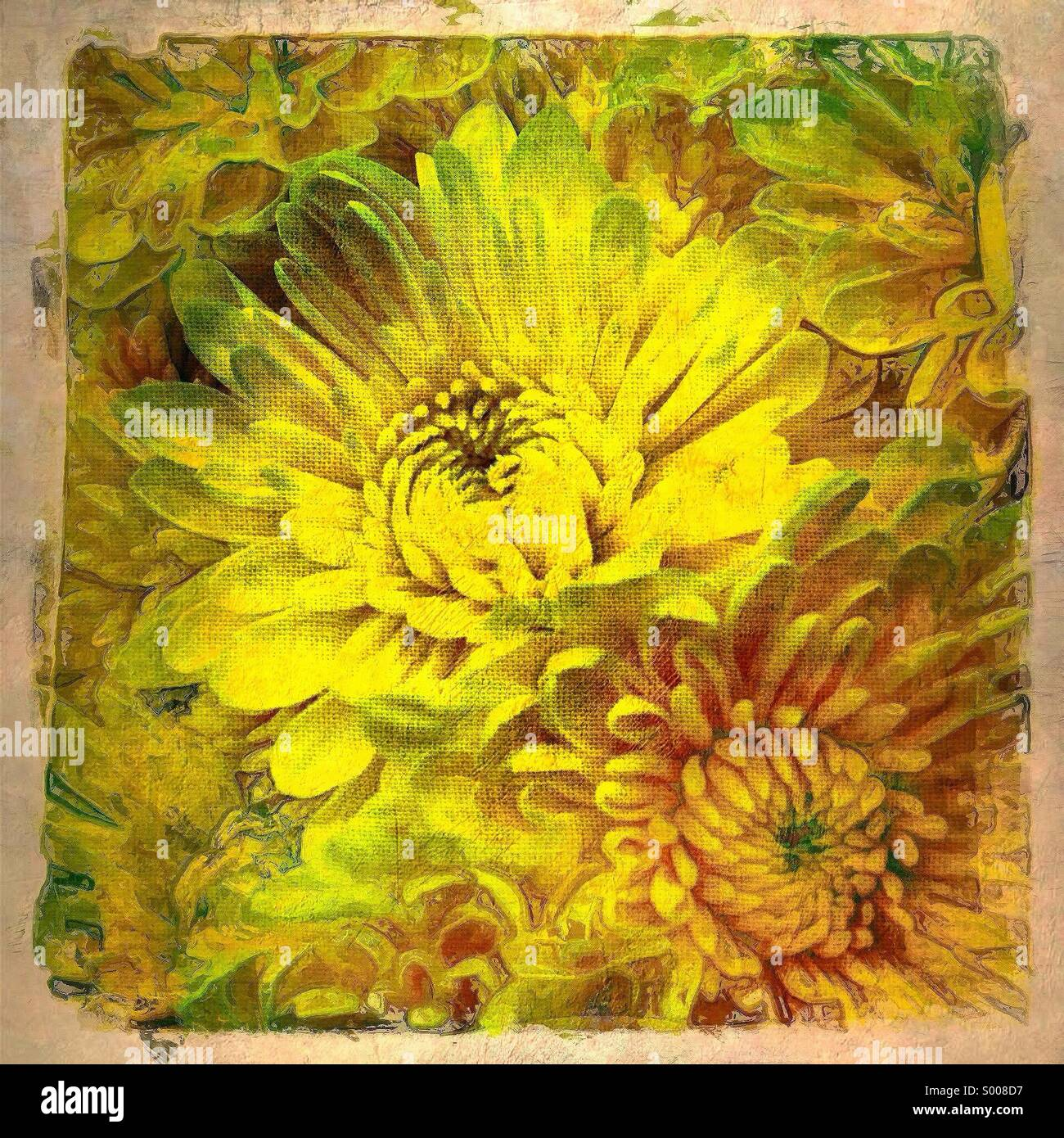 Painterly image of close up of yellow chrysanthemums - Stock Image