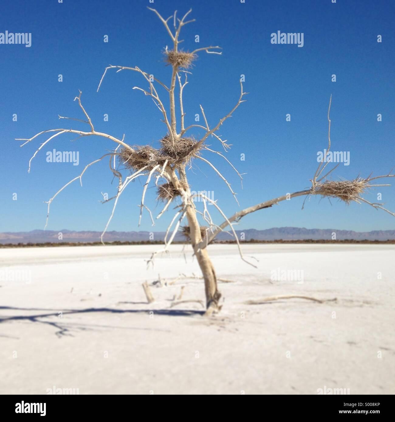 Dead tree with bird nests on salt flats at the Salton Sea, Niland, Calif. - Stock Image