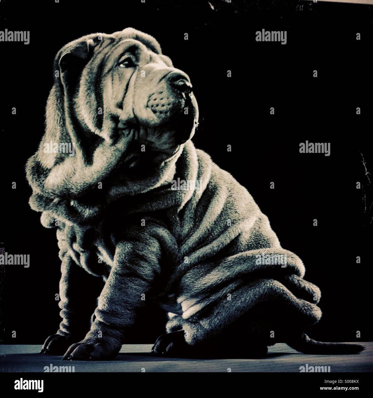 Wrinkly Sharpei shar-pei shar pei puppy - Stock Image