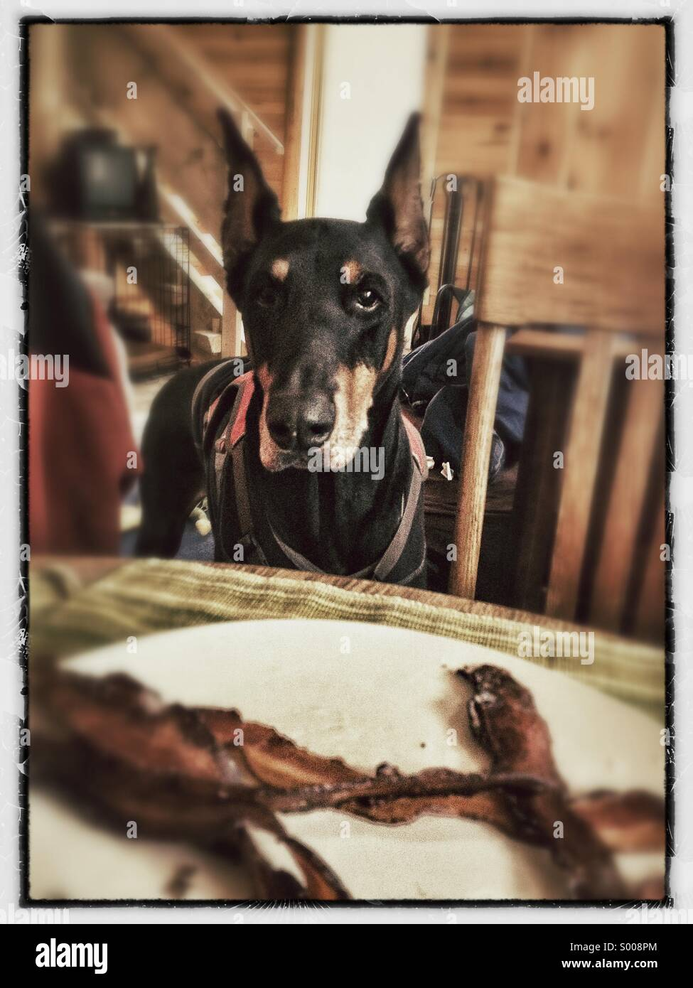 Doberman wants bacon - Stock Image