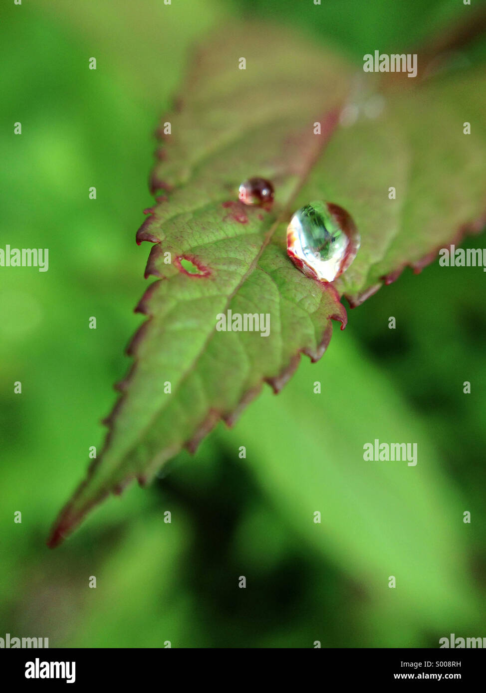 Raindrop on leaf. - Stock Image