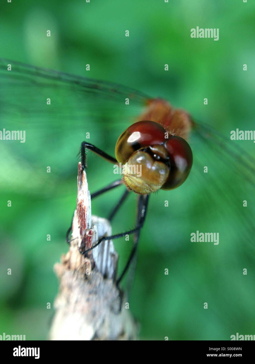 Dragonfly sitting on a branch. - Stock Image