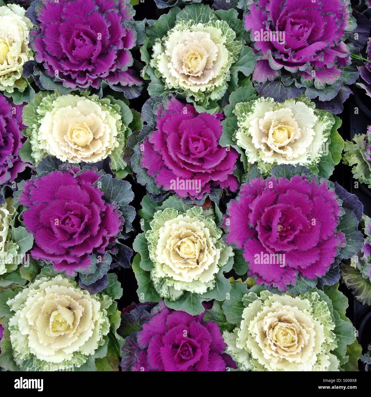 Close up of Ornamental Cabbage/Flowering Cabbage (Brassica oleracea). This flowers can be use as decorative, plant - Stock Image