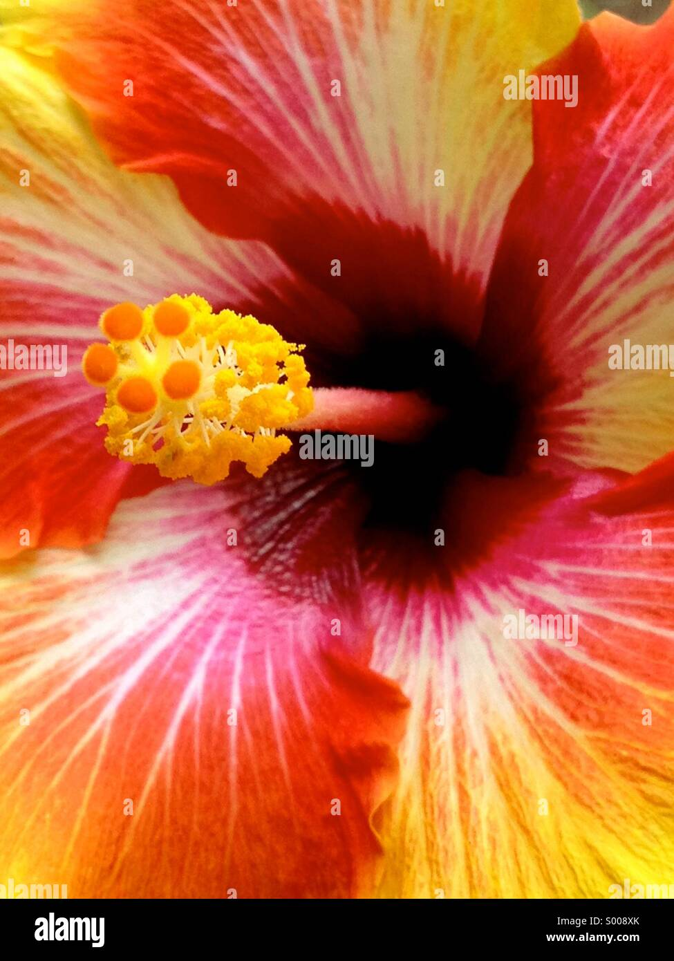 Closeup of hibiscus flower - Stock Image
