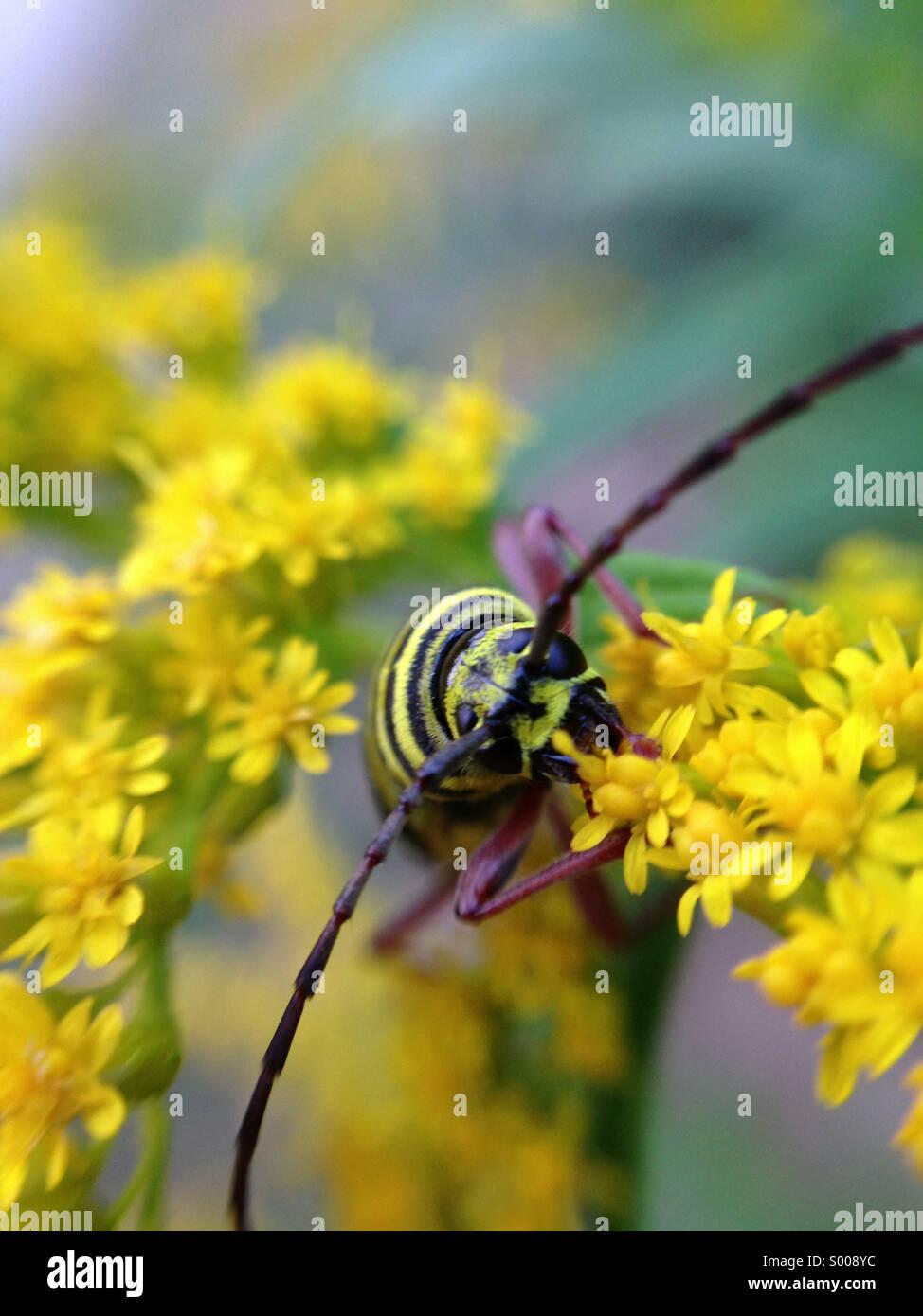 Locust borer on goldenrod. - Stock Image