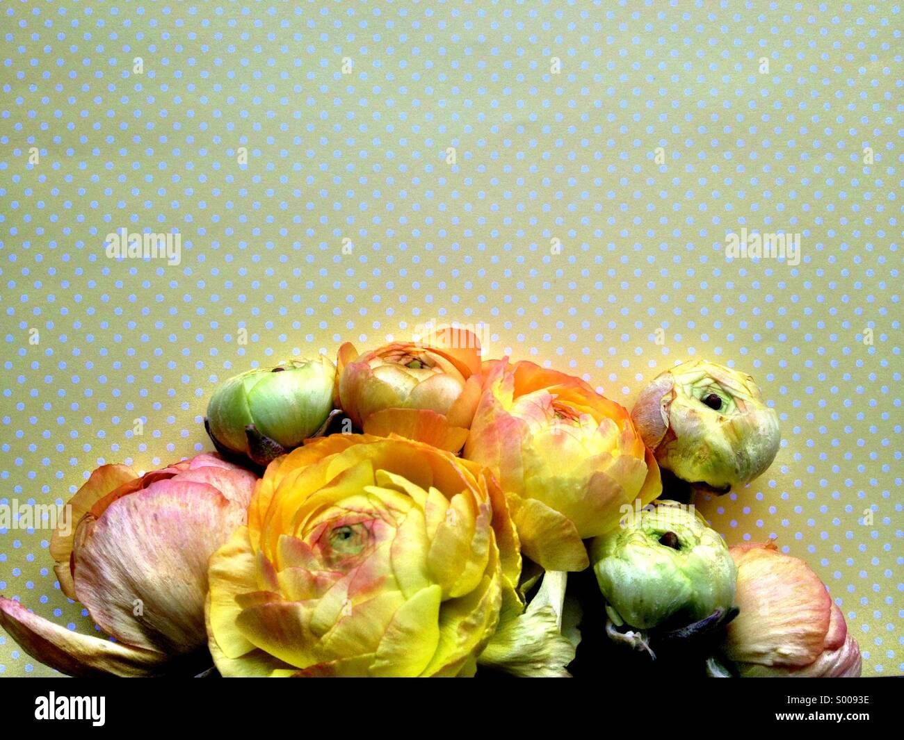 Ranunculus flowers on yellow polka dots - Stock Image