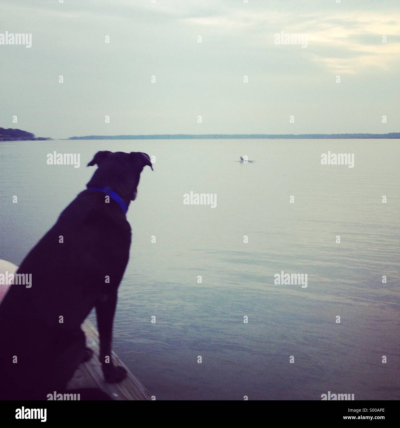 Dog looking at a dolphin in the Wilmington River. - Stock Image