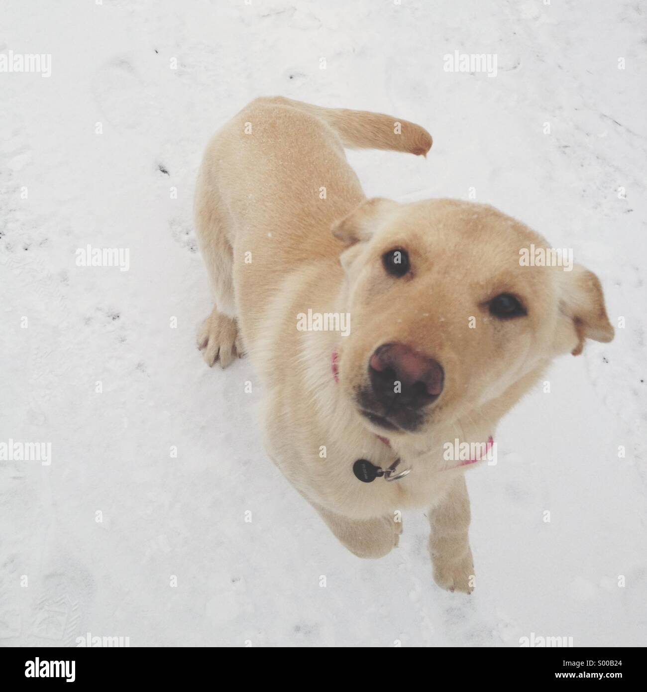 Dog in snow jumping - Stock Image