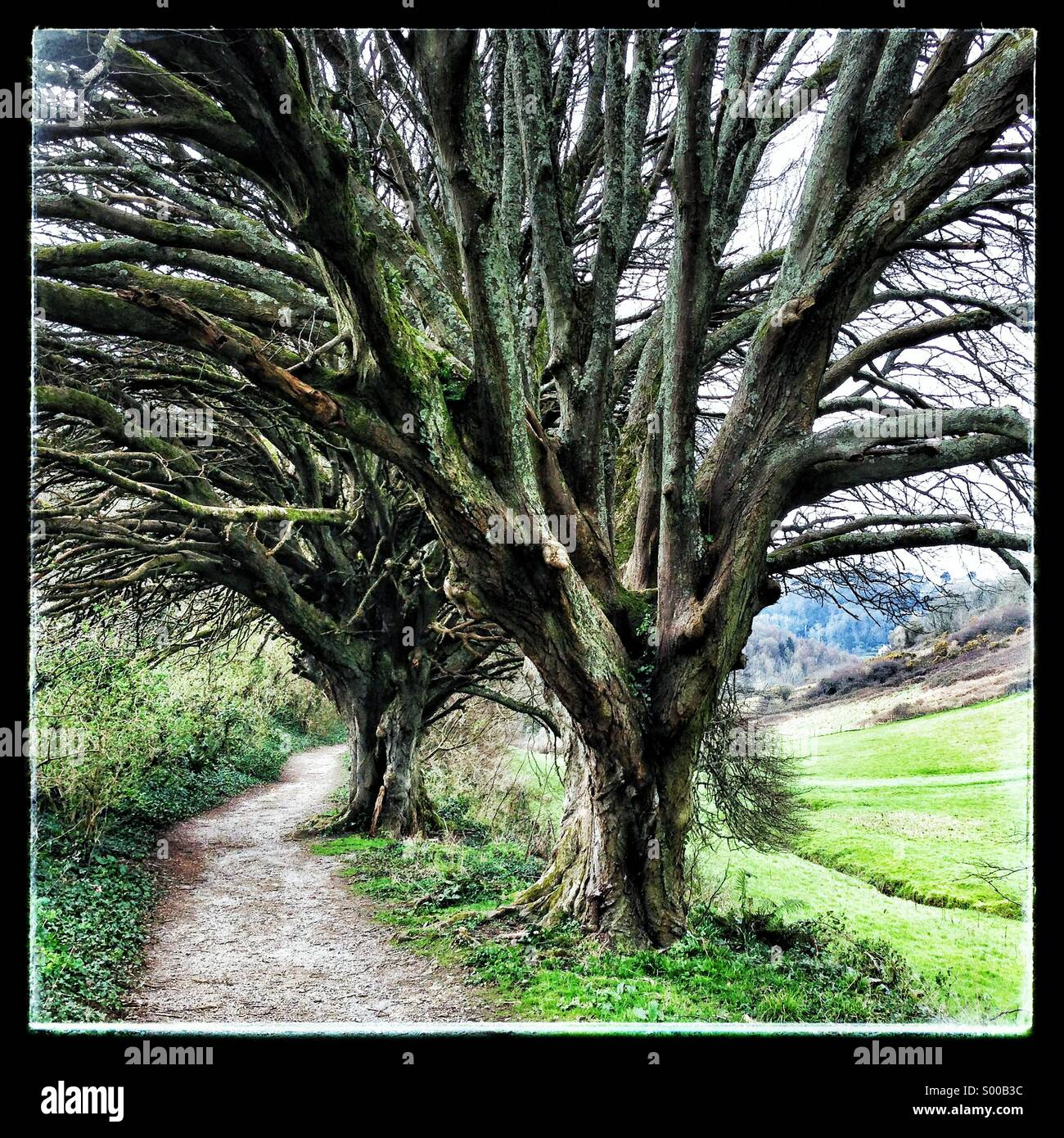 ancient yew trees beside country foot path - Stock Image
