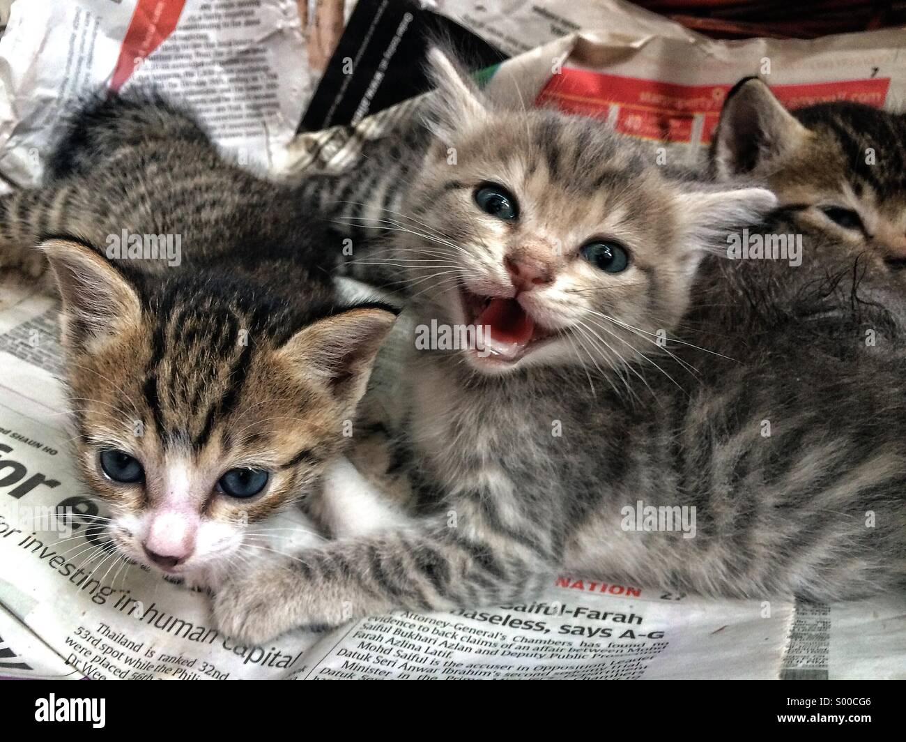Three newborn kittens meowing at the camera - Stock Image