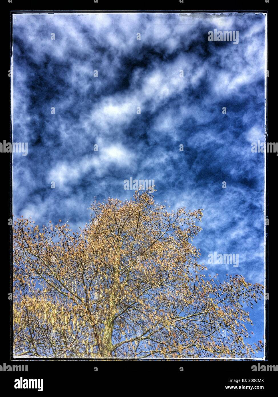 Willow Tree against vivid blue sky - Stock Image