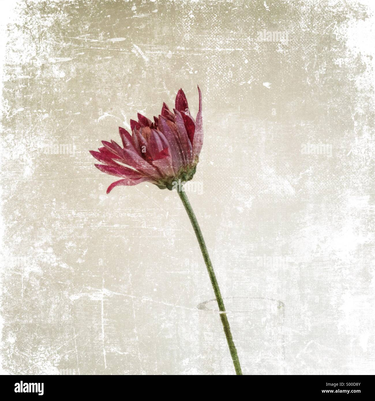Pink flower with slightly dishevelled petals in a clear vase. Textured still life - Stock Image