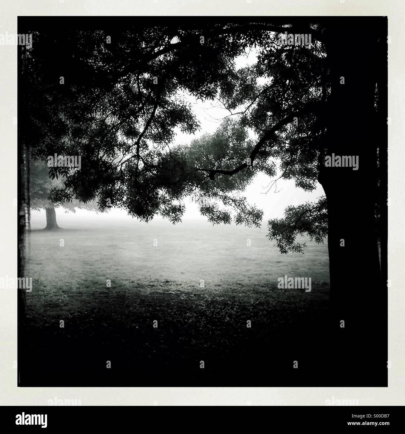 Black & white photo of old oak tree in field. Square format. London UK - Stock Image