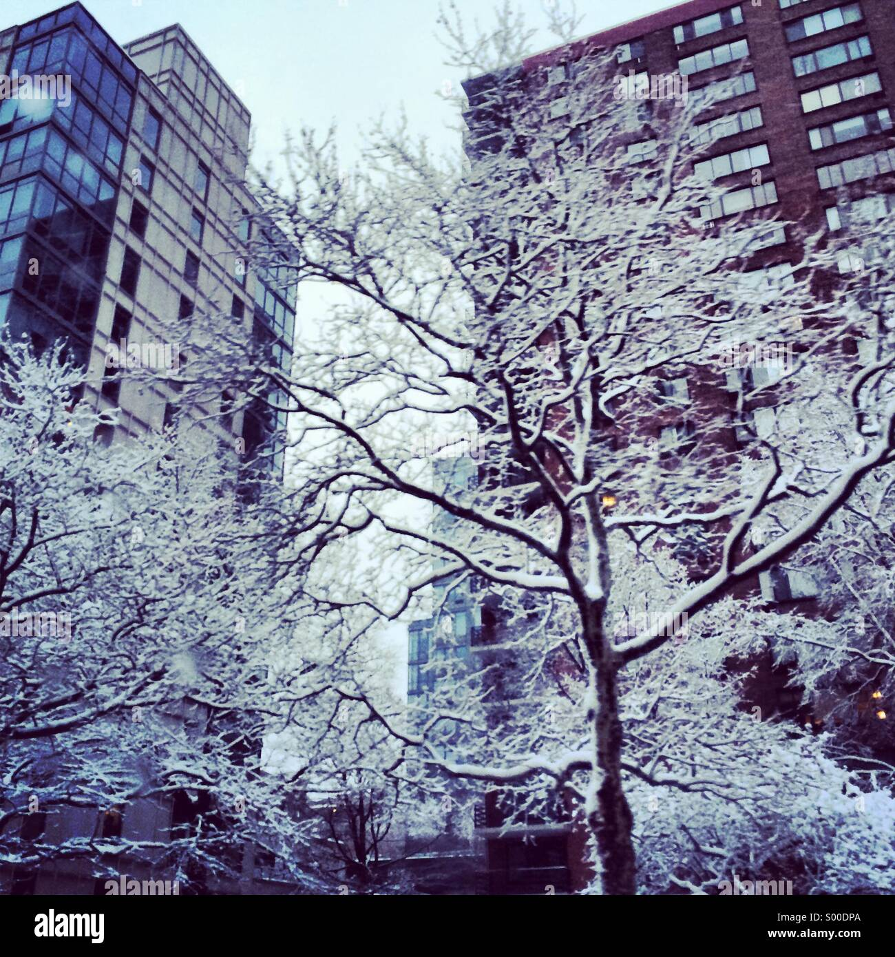 A tree covered in snow during New York winter. - Stock Image