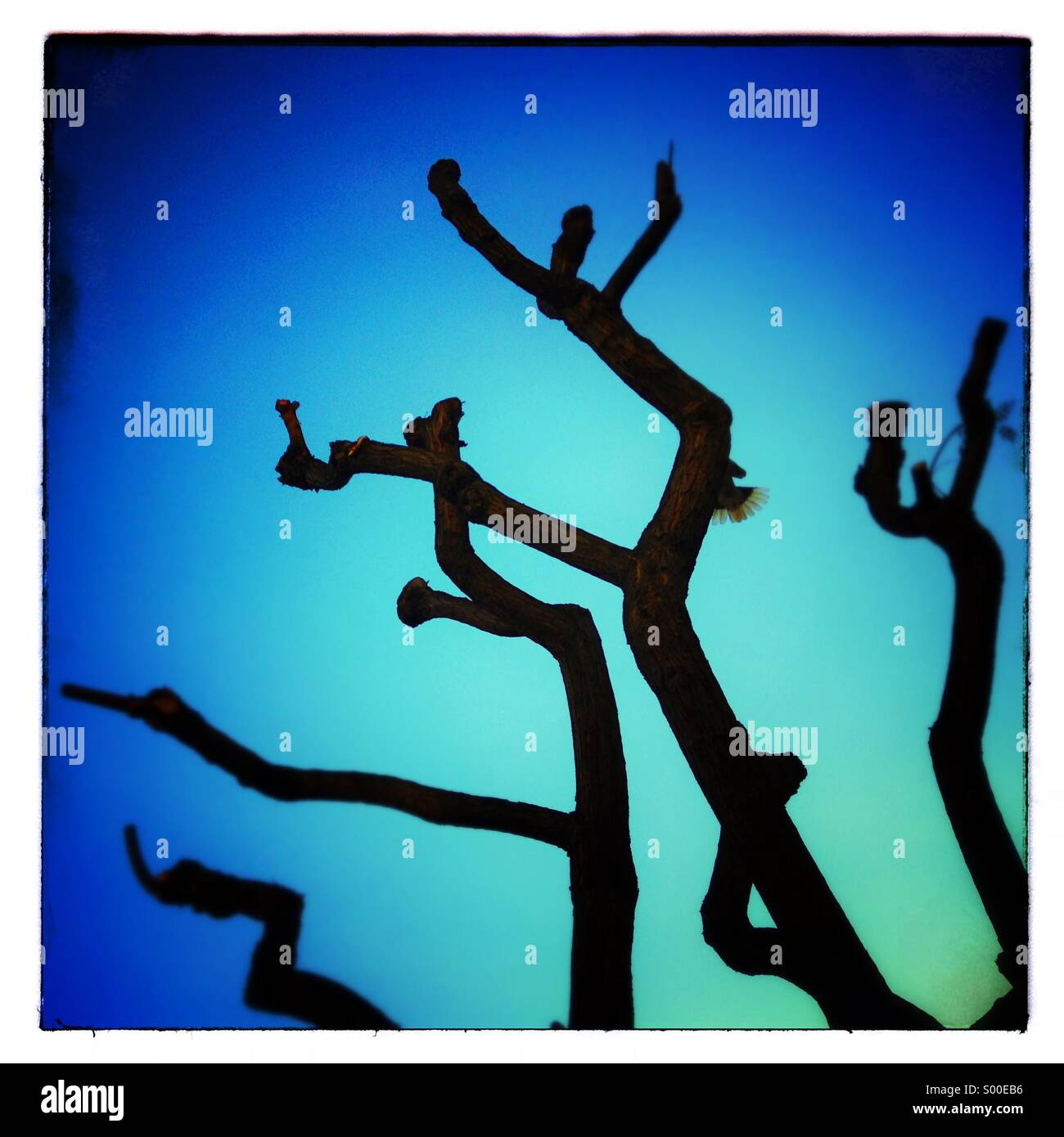 Tree branch silhouette in winter on blue sky - Stock Image