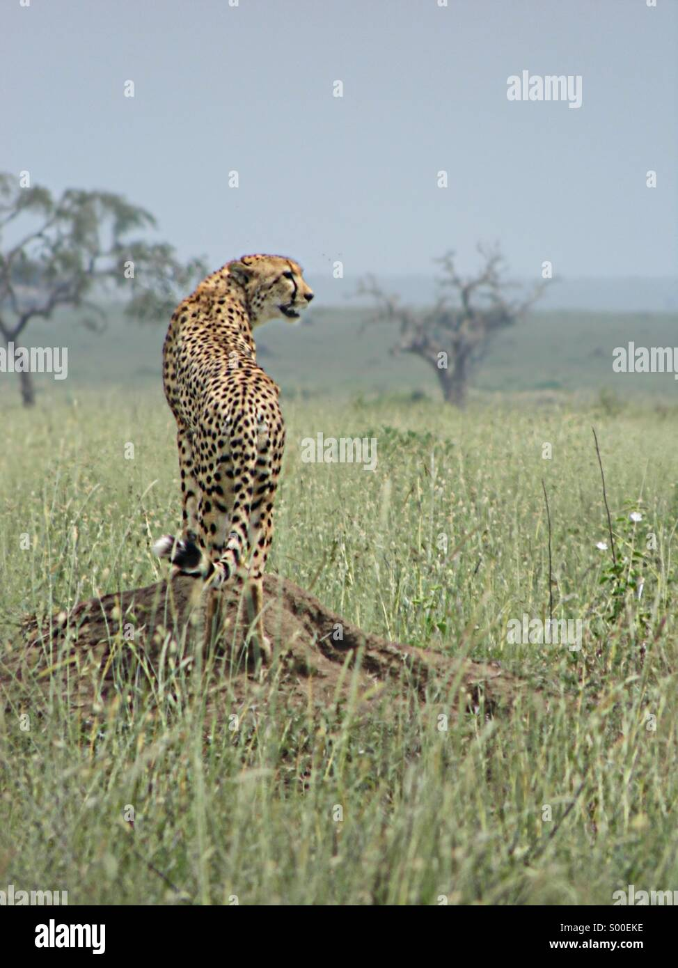 Cheetah in the wild Serengeti plains - Stock Image