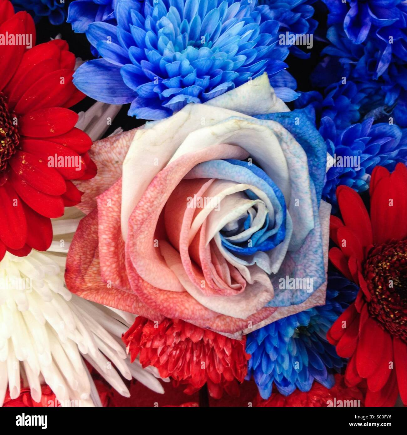 Red white and blue rose flower stock photo 309799146 alamy red white and blue rose flower mightylinksfo Choice Image